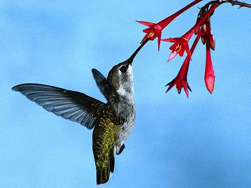 Hummingbird-eating-flowersmall