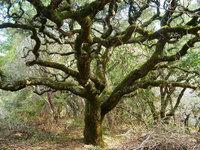Medusa_tree